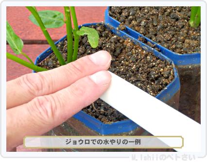 ペトさい(空芯菜)44