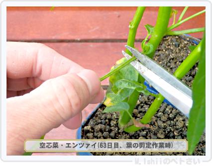 ペトさい(空芯菜)48