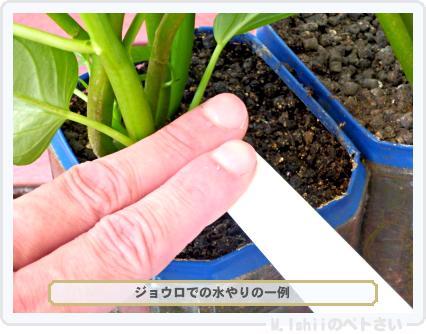 ペトさい(空芯菜)70