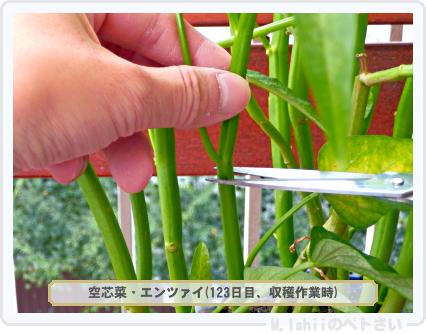 ペトさい(空芯菜)87