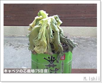 キャベツの芯栽培19