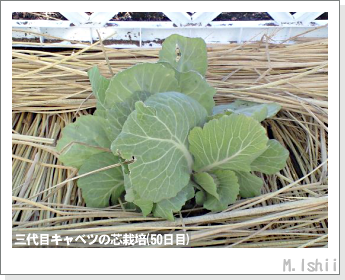 キャベツの芯栽培58