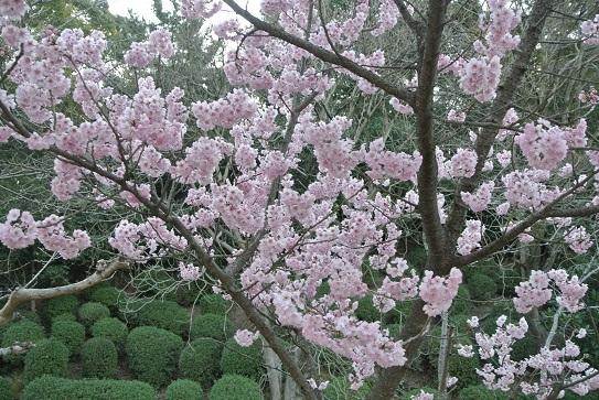 10 櫻の花が満開