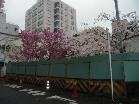 ① 街角に咲く満開のさくらA