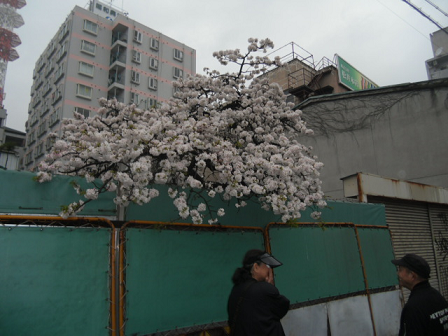 ② 枝垂れ桜もあります
