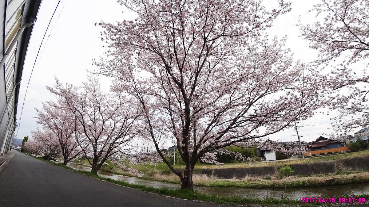 妻木川堤防の桜-1