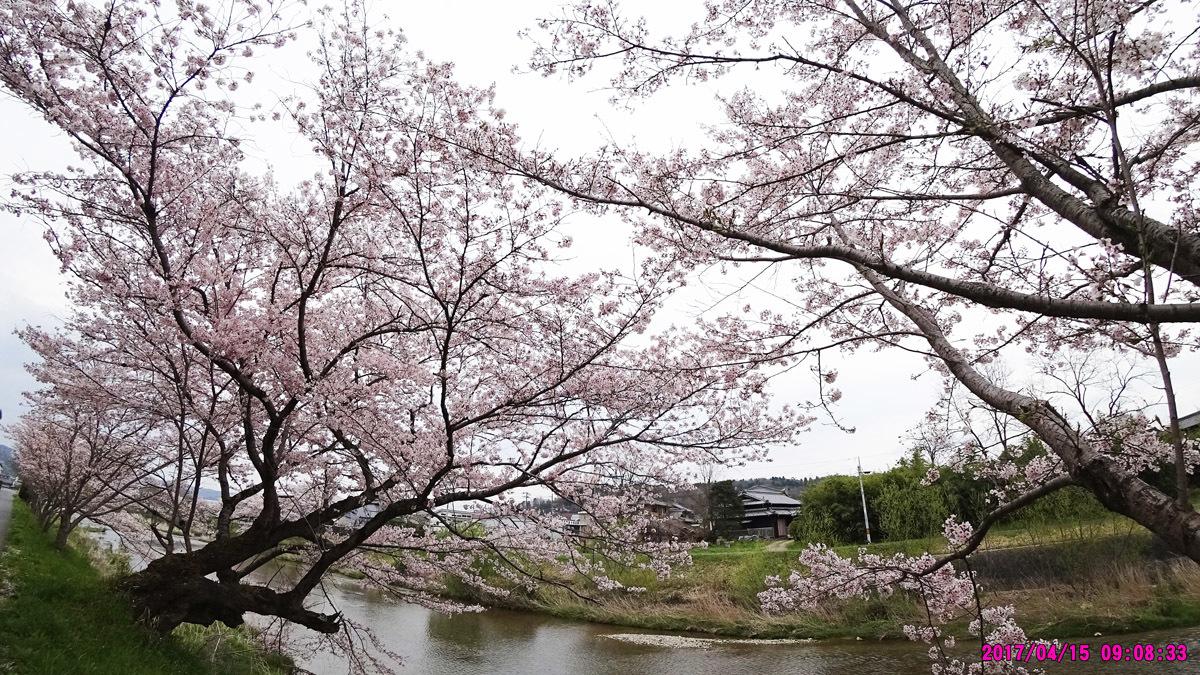 妻木川堤防の桜-2