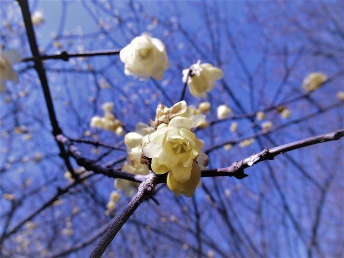 170304春の花2 (3)