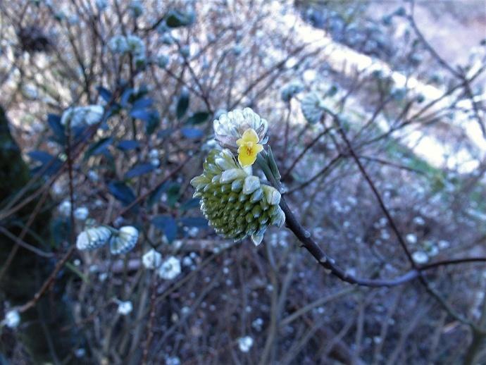 170304春の花2 (4)