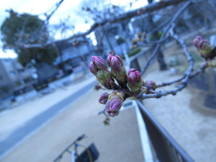 170327桜 (3)