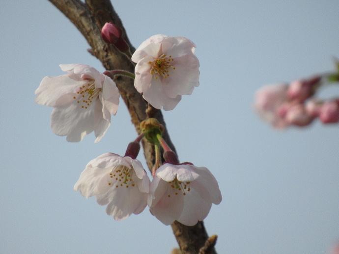 170330万代桜 (3)