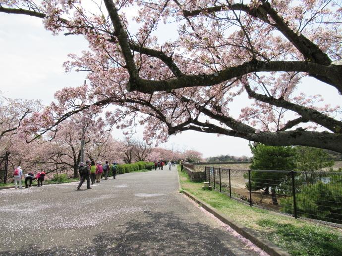 170415甲桜 (4)