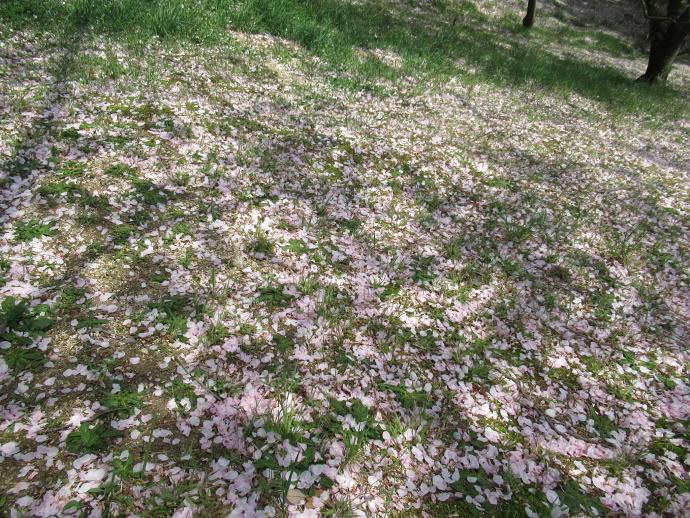 170415甲桜 (5)
