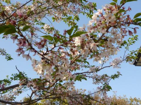 今年の桜は(2)