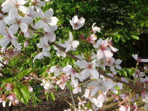 今年の桜は(3)