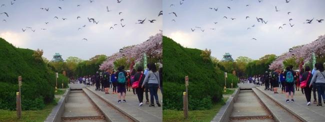 大阪城公園の桜①(平行法)