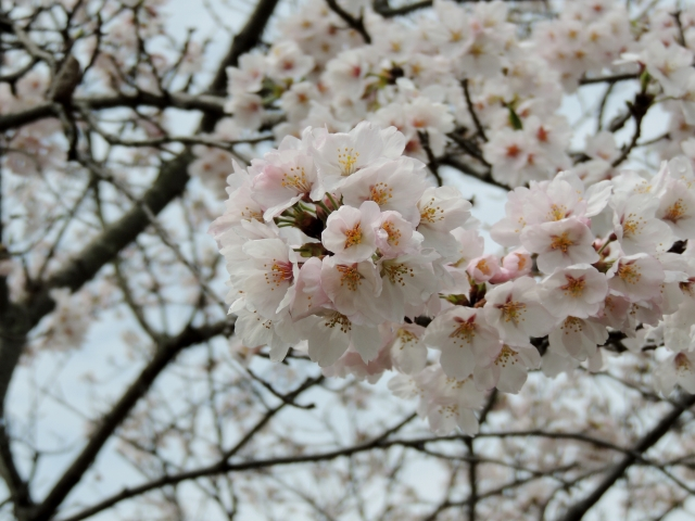 N9227野洲の桜