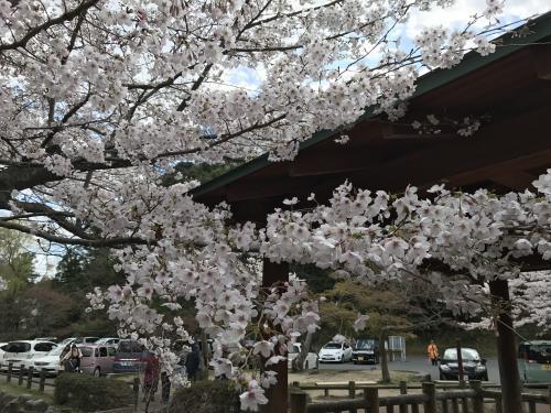 【2017 松ケ岡公園の桜並木】・6