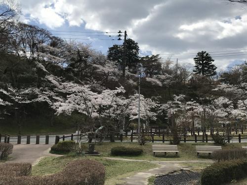 【2017 松ケ岡公園の桜並木】・13