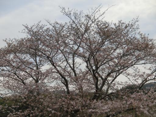 土手の桜2