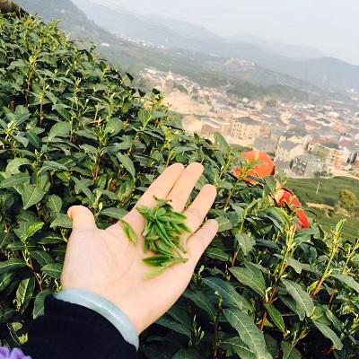 2017年西湖龍井茶(龍井村)