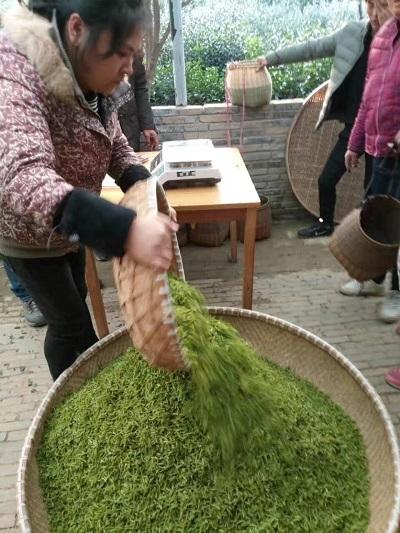 茶摘み2017年ー2