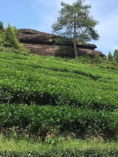 武夷山製茶―2