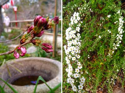 桜はまだつぼみです