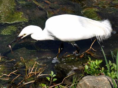 白鷺、小魚を捕まえる