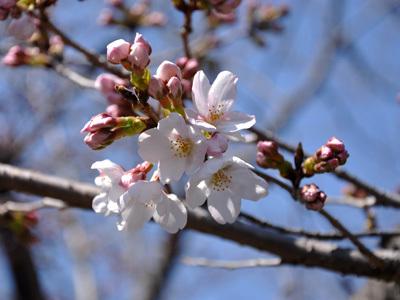 土手の桜 4/3 5