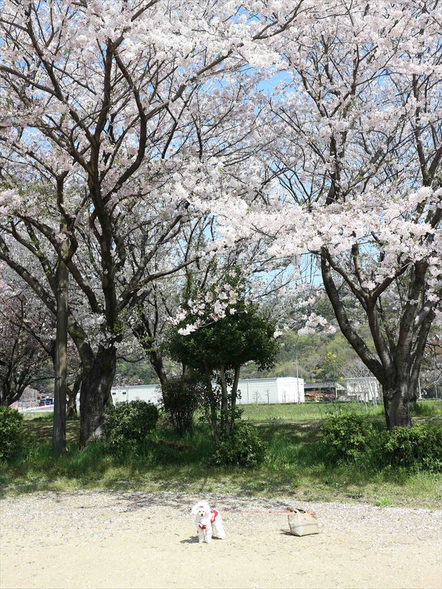 2017 04 13_お花見さんぽ_1_R