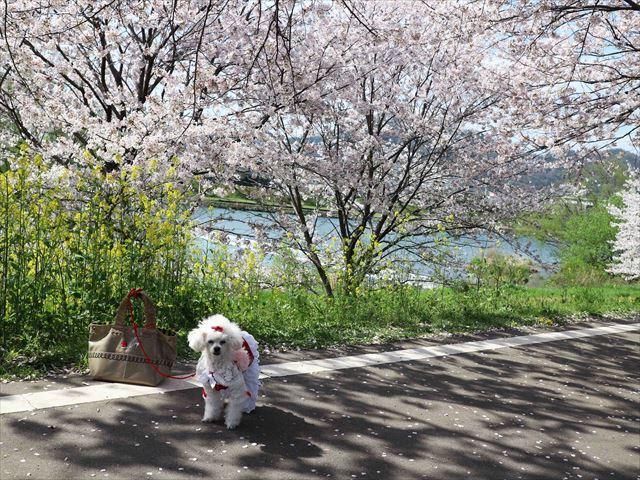 2017 04 13_お花見さんぽ_120_R