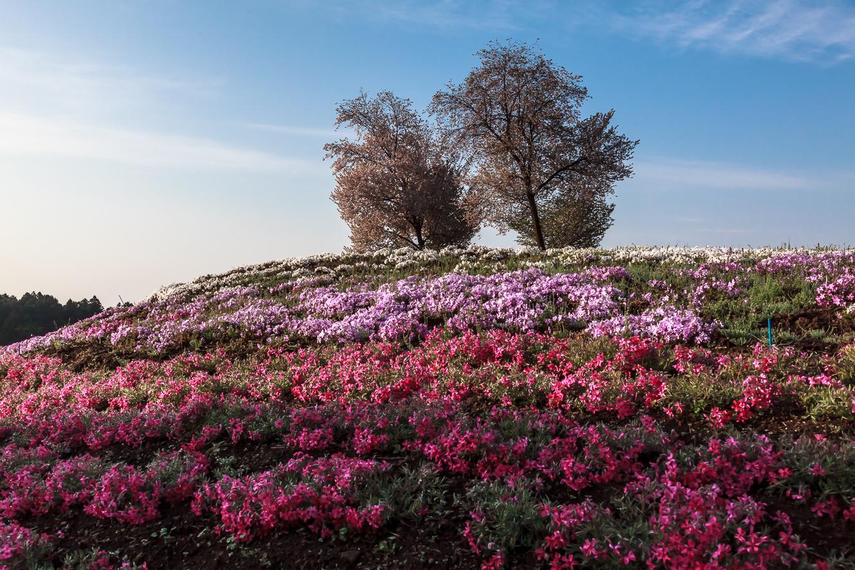 170429みさと芝桜 (1 - 1)-17