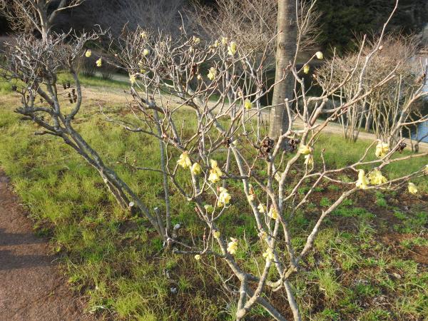 170320春の芽吹き_1
