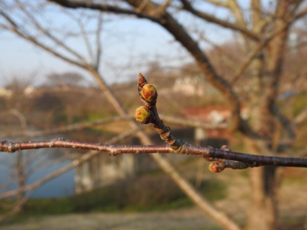 170320春の芽吹き_4