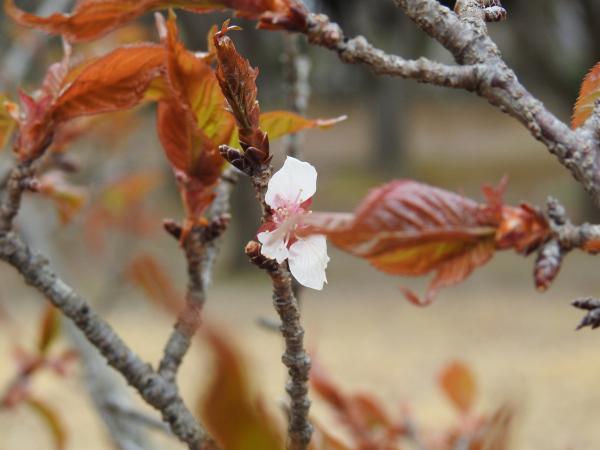 170327桜川春の息吹_5