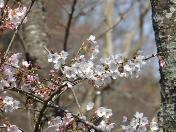 170406 あすなろの里 桜1