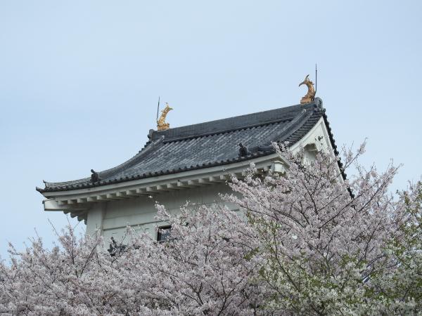 170412霞ケ浦の桜_6