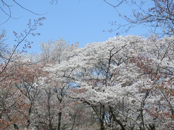 170415桜川_風土記の丘_05