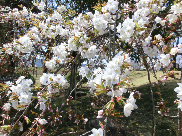 170417 岩瀬の桜続き2