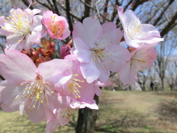 170417 岩瀬の桜続き3