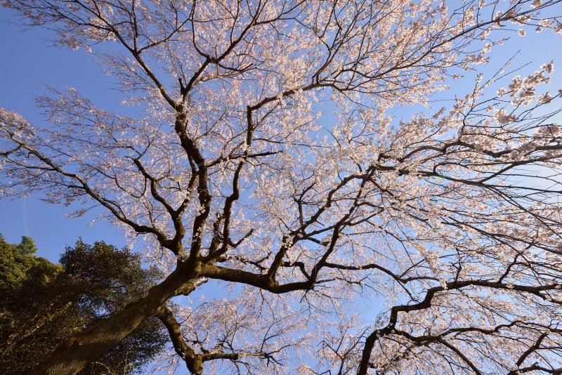 170404大原しだれ桜 (5)
