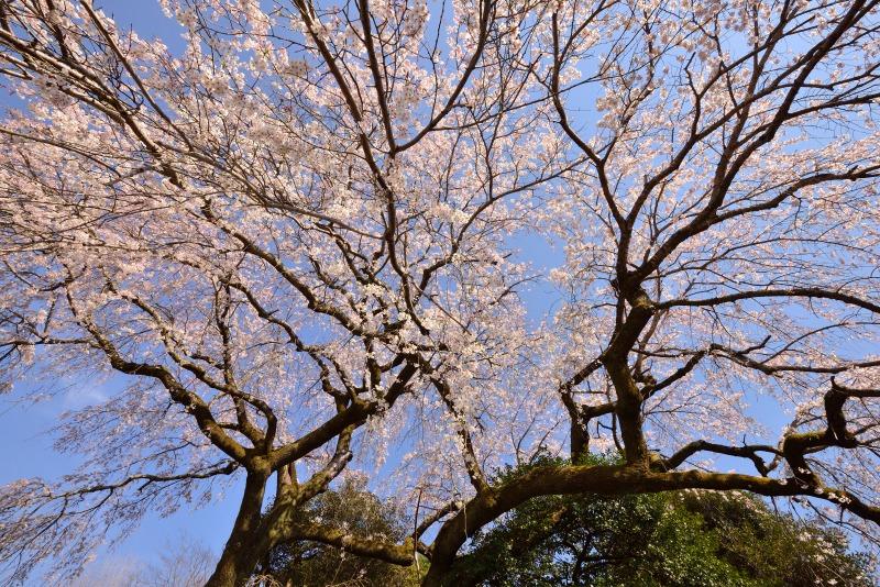 170404大原しだれ桜 (4)