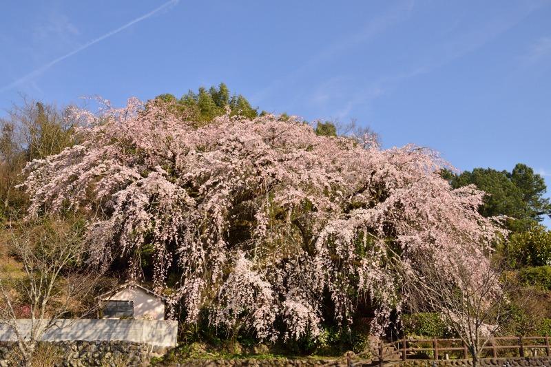 170404大原しだれ桜 (2)