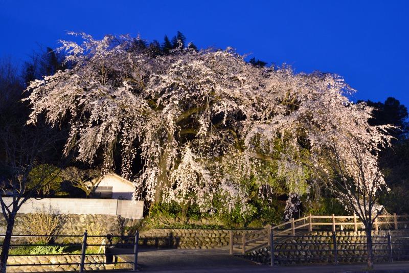 170404大原しだれ桜 (10)