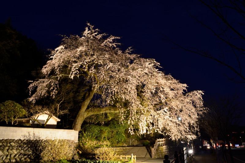 170404大原しだれ桜 (11)