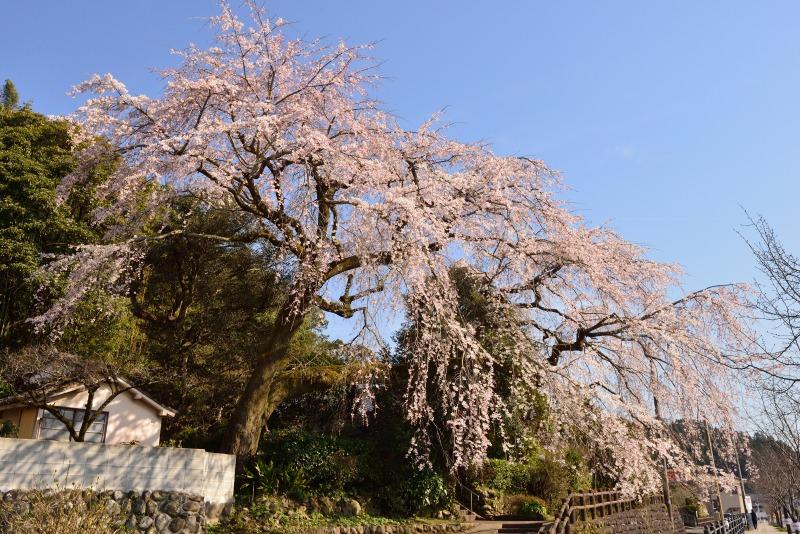 170404大原しだれ桜 (8)
