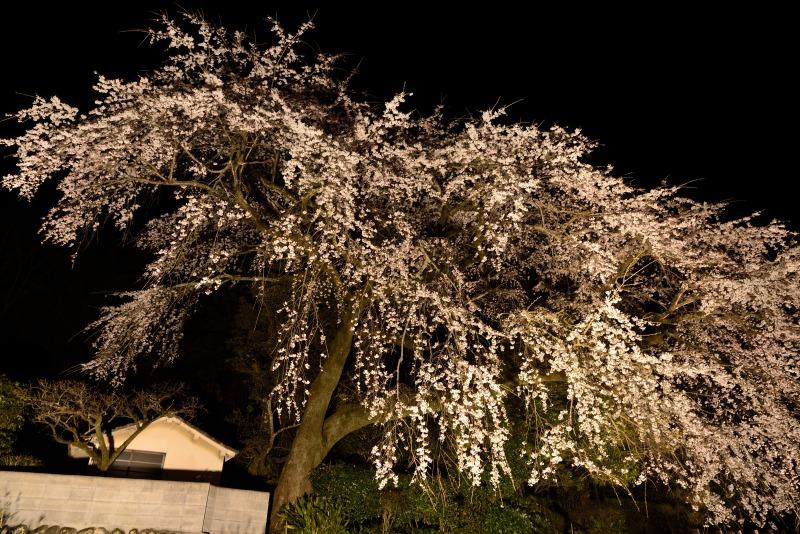 170404大原しだれ桜 (14)