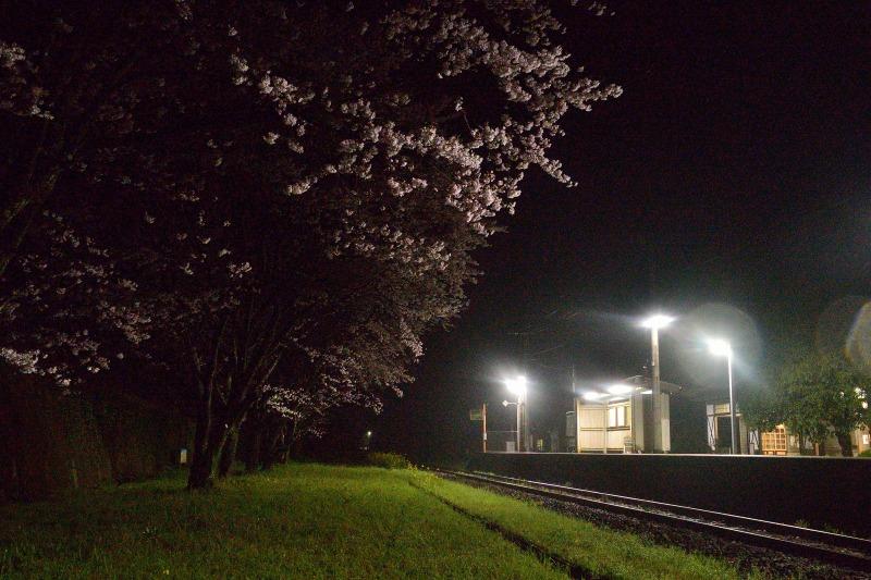 170408宝珠山夜桜 (5)