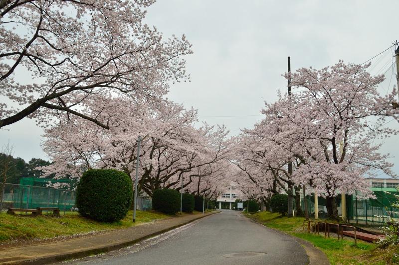 三隈高校の桜 (6)